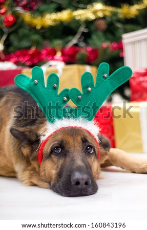 German shepered with deer antlers hat on Christmas Eve  - stock photo