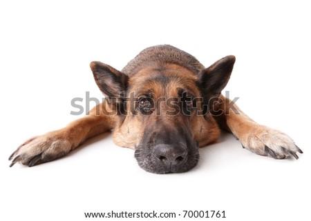 German shephard dog laying on white background. - stock photo
