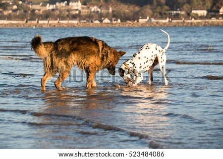 German Shephder dog and dalmatian play with a stick in the sea water together