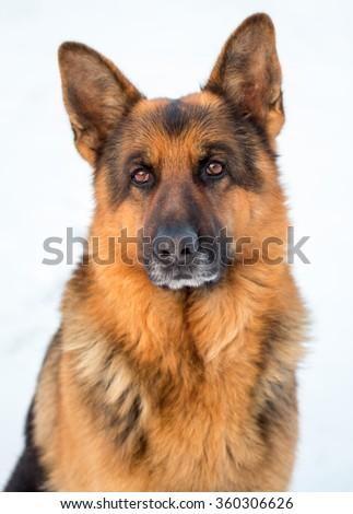 German Shepherd. - stock photo