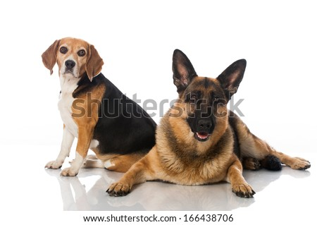 German shepherd and beagle dog isolated on white