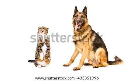 German Shepherd and funny cat Scottish Fold, isolated on white background - stock photo