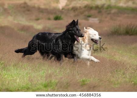 German Shepherd and Golden Retriever running in a field shoulder to shoulder - stock photo