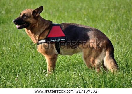 German Shepherd as a rescue dog - stock photo