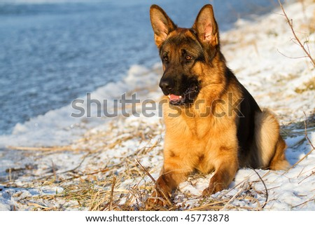 German Shepherd by the lake in the winter - stock photo
