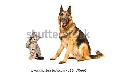 German Shepherd dog and playful kitten Scottish Straight isolated on white background  - stock photo