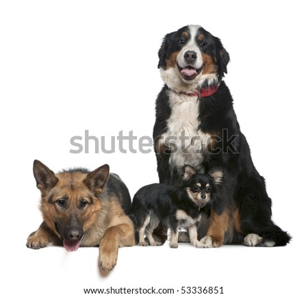 German shepherd dog, Bernese mountain dog and Chihuahua, 14 months, 4 years and  9 months old, in front of white background - stock photo