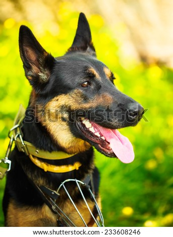 German Shepherd Dog Close Up Portrait - stock photo