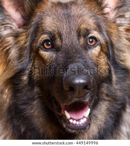 German Shepherd Dog close up shot of his head.  He is long haired and sable.