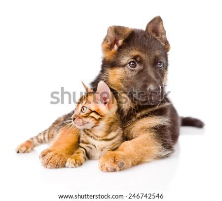 german shepherd dog embracing little bengal cat. isolated on white background - stock photo