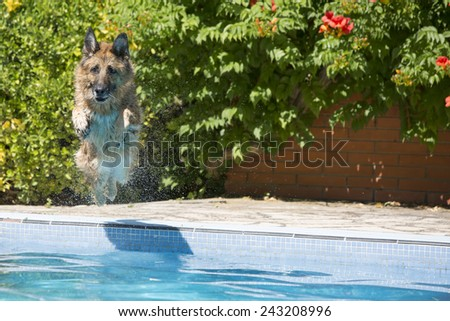 German Shepherd dog jumping into the swimming in the pool. looking at camera