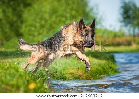 German shepherd dog jumps into the water  - stock photo