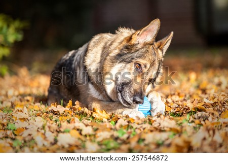 German Shepherd Dog laid on autumn leaves chewing a toy. - stock photo