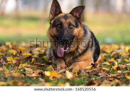 German Shepherd Dog Laying On Grass