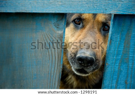 German shepherd dog looking through hole in fence guarding house - stock photo