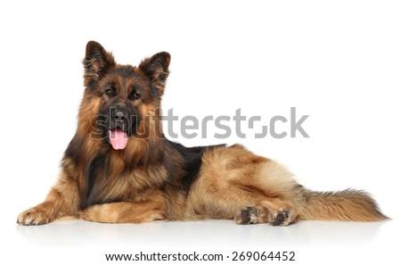 German shepherd dog lying down on a white background - stock photo