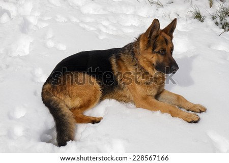 German Shepherd dog lying in the snow.