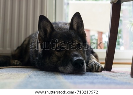 German Shepherd dog lying on the carpet. Slovakia
