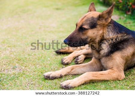 German Shepherd dog lying on the green grass, Dog lies - stock photo