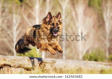 German Shepherd dog on autumn walk - stock photo