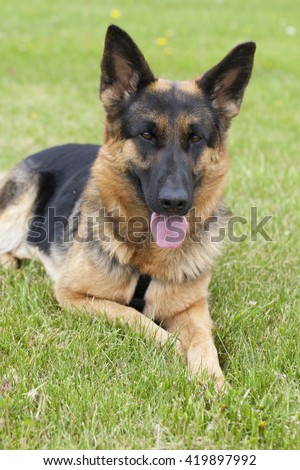 German shepherd dog outside at summer