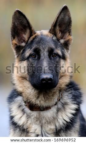 German shepherd dog portrait - stock photo
