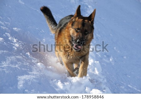 German Shepherd Dog running in the snow. - stock photo