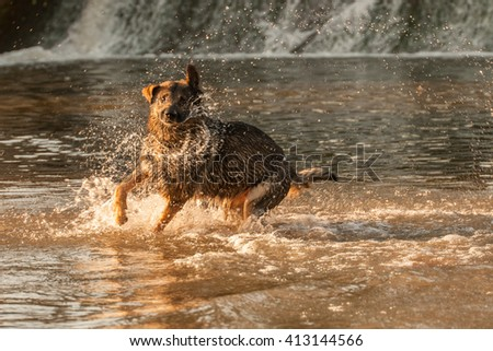 German shepherd dog running in the water at the weir