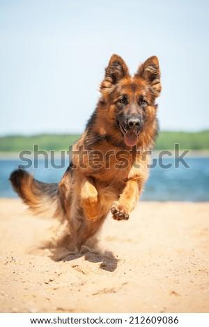 German shepherd dog running on the beach - stock photo