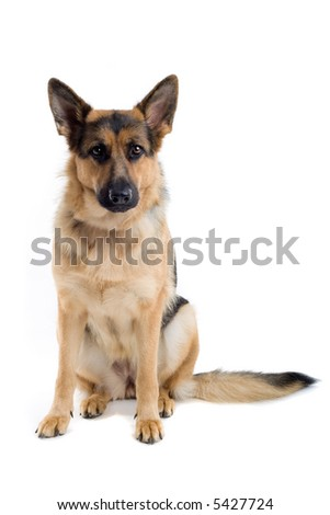 german shepherd dog sitting down and looking into the camera - stock photo