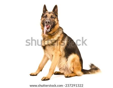 German Shepherd dog sitting isolated on a white background - stock photo