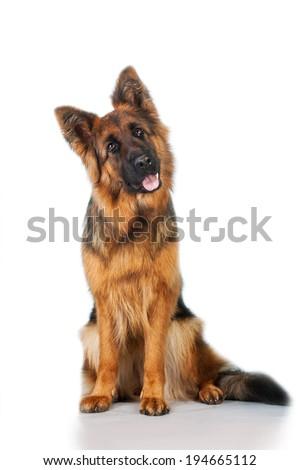 German shepherd dog sitting isolated on white background - stock photo