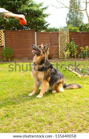 german shepherd dog sitting waiting for his ball to be thrown