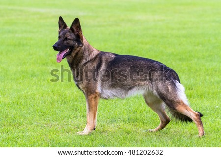 German shepherd dog standing porfile shot with three legs turned