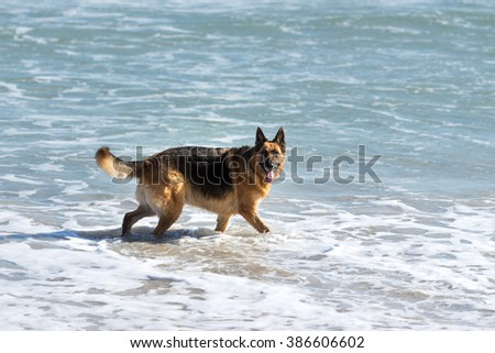 German Shepherd dog swimming at the beach