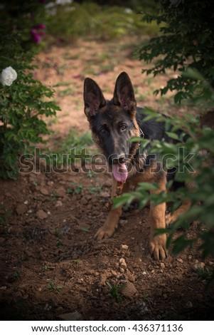 German Shepherd Dog,The dog playing hide and seek - stock photo