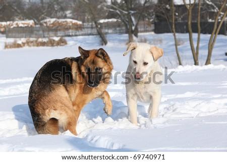 German Shepherd Dog with labrador retriever - stock photo