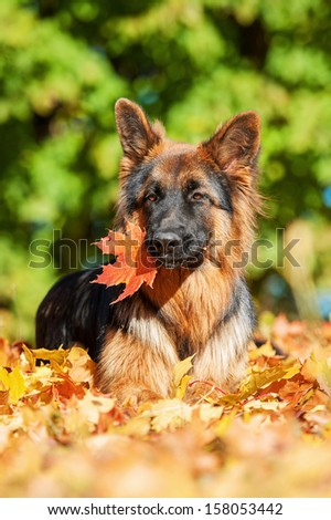 German shepherd dog with leaf in its mouth lying in the park in autumn
