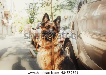 German shepherd dog with leash in her mouth - stock photo