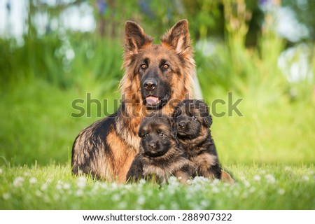German shepherd dog with little puppies - stock photo