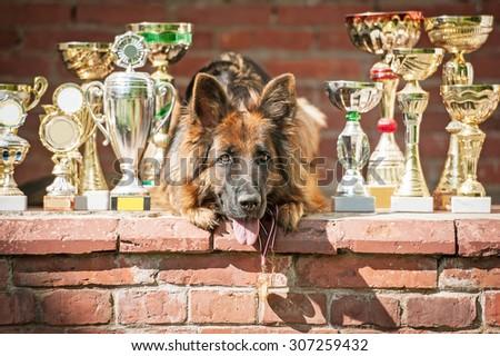 German shepherd dog with winner cups - stock photo