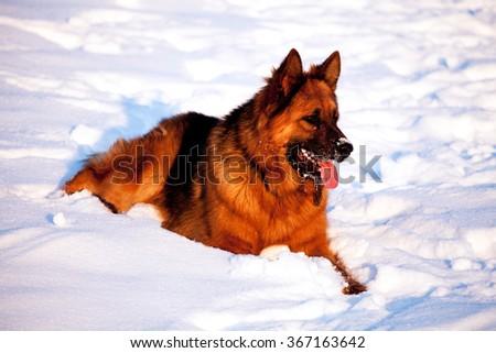 german shepherd god portrait in snow field, sunset warm colors  - stock photo