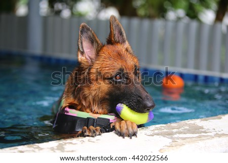 German shepherd hold rubber toy on mouth in swimming pool, dog swimming, dog playing, guard dog - stock photo