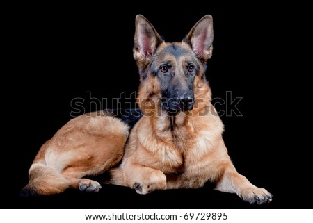 German Shepherd in front, isolated on black background, studio shot. - stock photo