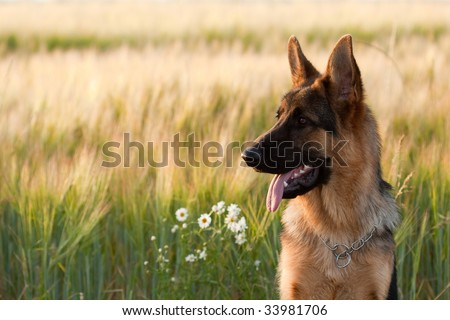 German shepherd in front of wheat field and flowers. - stock photo
