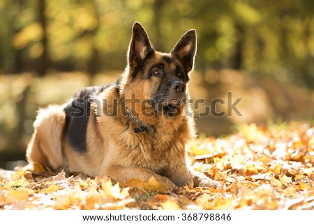 German shepherd in the autumn Park