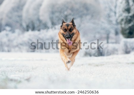 German Shepherd is running on winter sunny day - stock photo