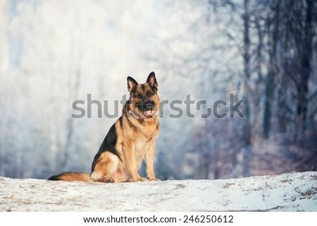 German Shepherd is sitting on frost - stock photo
