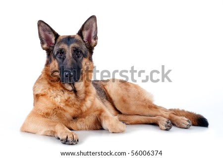German Shepherd lying in front, isolated on white background, studio shot. - stock photo