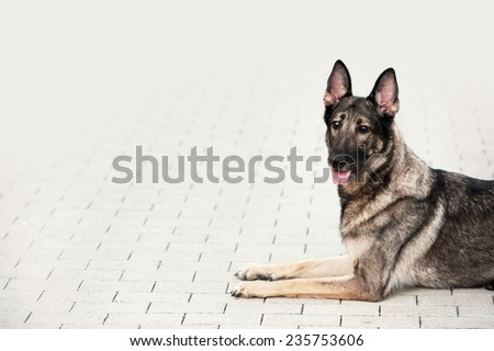 German Shepherd on a light background - stock photo